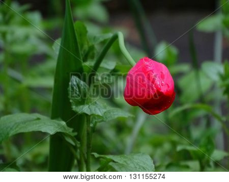 Red tulips in flowerbed spring bloom nature flowers flora floristics botany