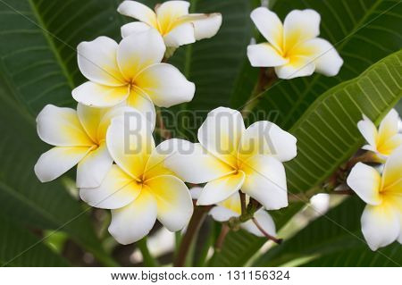 The beauty of nature White of Plumeria