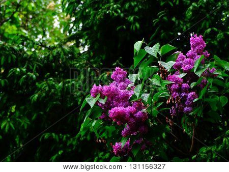 Lilac in the spring garden bloom nature season flower flora floristics botany plant trees