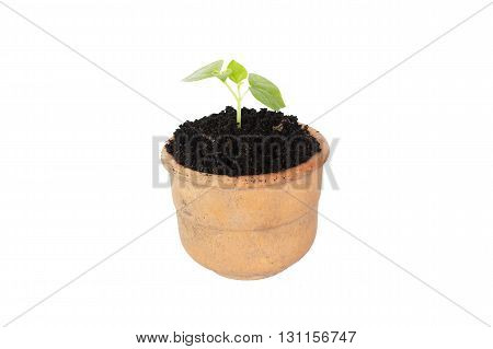The Small potted trees isolate white background;