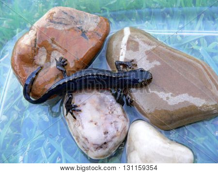 male Newt Ichthyosaura alpestris living in the Czech Republic