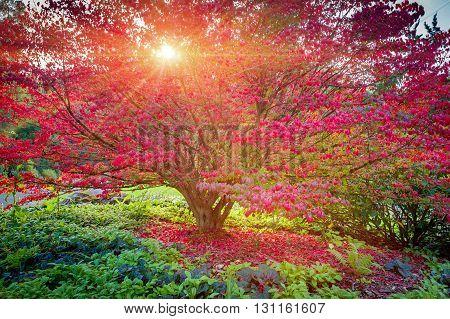Japanese maple tree in sunset light, Seatle