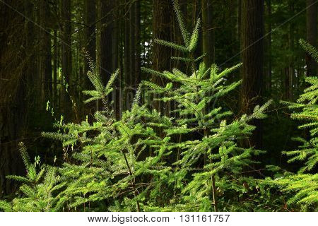 a picture of an exterior Pacific Northwest forest of young Douglas fir trees.