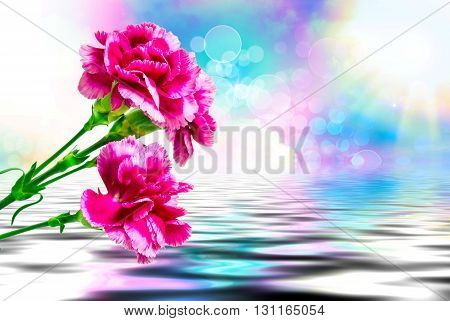 Close up of fresh beautiful carnation flower