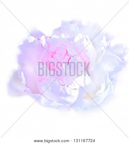 Luxurious pink peony at isolated white background