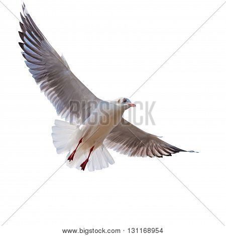 Seagull flying isolated on white background with clipping path