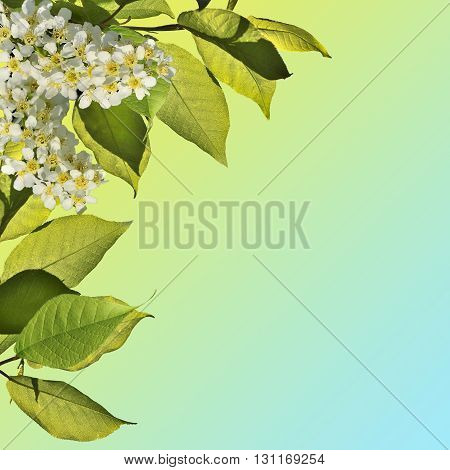 White flowers and leaves of wild cherry in the spring sunshine - abstract floral background