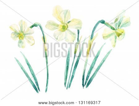 Daffodil watercolor painting set isolated on white background. Watercolor narcissus sketch illustration. Narcissus in bloom. Watercolor painted narcissus flowers over white. Blossom collection. Hand drawn illustration.