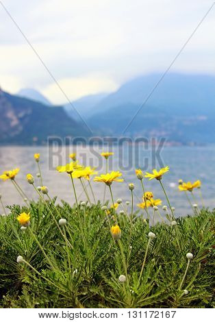 Como lake with yellow flowers on the foreground, Italy