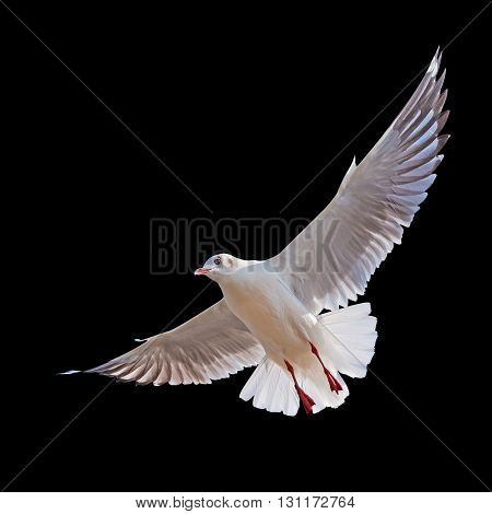 Seagull flying isolated on black background with clipping path