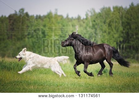 golden retriever dog running with a pony on a field