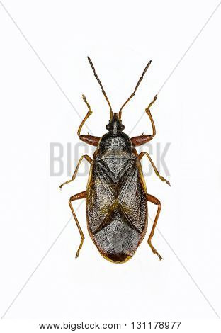 Spruce  Cone Bug on white Background  - Gastrodes abietum (Bergroth, 1914 )
