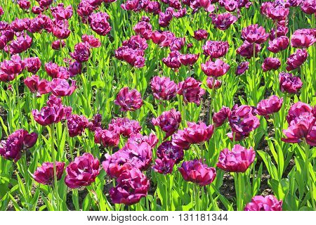 a lot of beautiful lilac tulips on the flower-bed