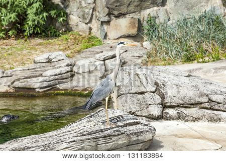 Heron Stands At A Rock