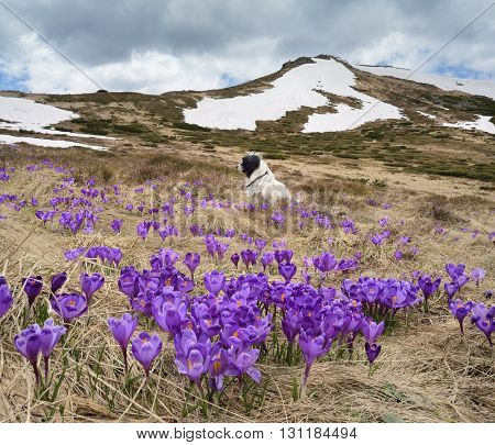 Spring landscape. Crocus flowers in a glade in the mountains. Dog sitting on the grass. Beauty in nature. Carpathians, Ukraine, Europe