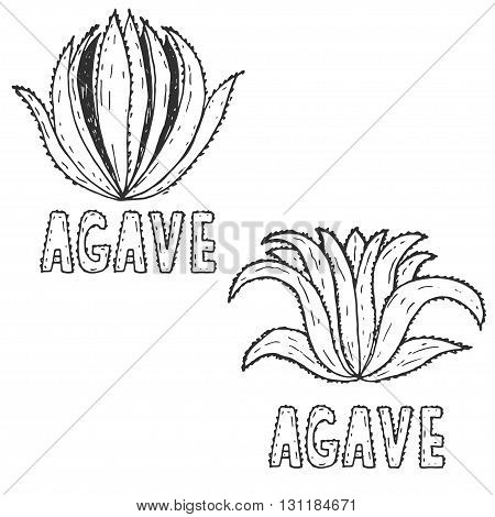 Hand Drawn Illustration Template Of Agave.vector