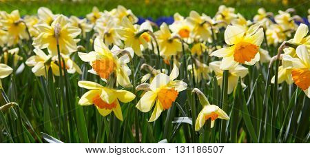 Yellow Daffodils in the garden.Outdoor shot of yellow daffodils in a nicely full flowerbed in spring
