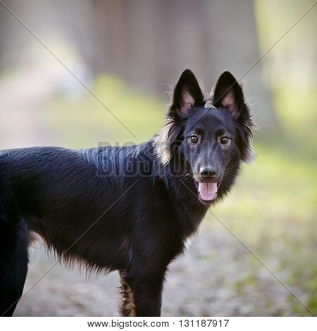 Portrait of a black not thoroughbred domestic dog
