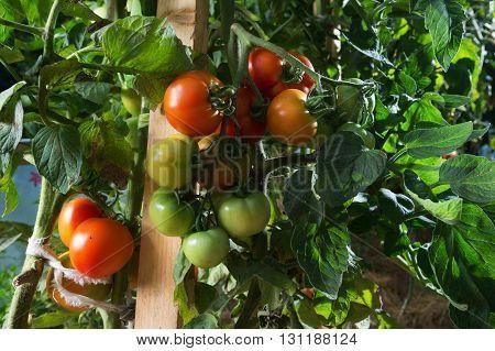 Tomatoe plant growing. Homegrown organic food tomatoes ripen gradually