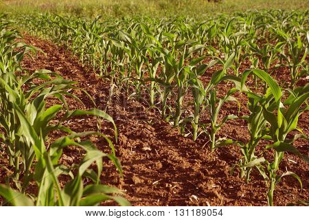 Green corn field. Growing, plant, farm, food.