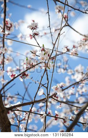 Blossom apricot tree branch blue sky on background, soft focus