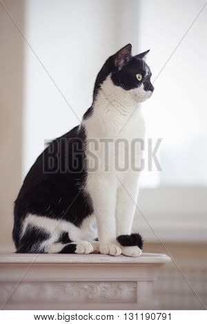 Cat of a black-and-white coloring sits on a table