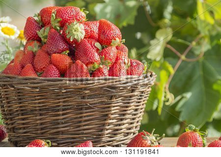 basket with strawberries, ripe and fresh strawberries, strawberry field, strawberry sun