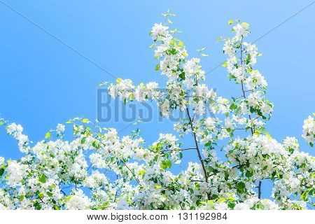 flowering branches of apple trees on background of blue sky sunny day