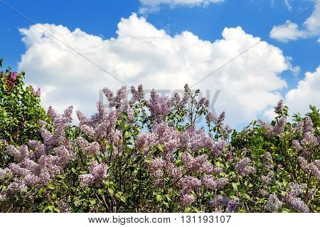 tree blossoming lilac against sky and clouds blur