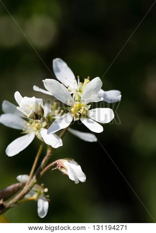 The white flowers of a mespilus lit with the sun. Close up macro spring shooting indistinct background