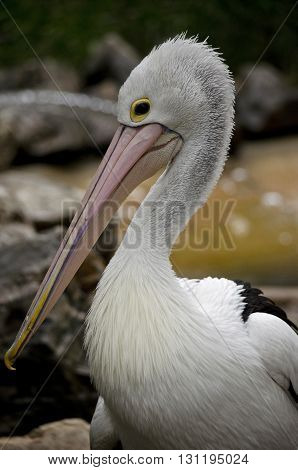 this is a close up of a pelican