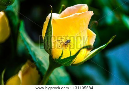 Parting. Yellow flowers -color separation! Spider on yellow rose.