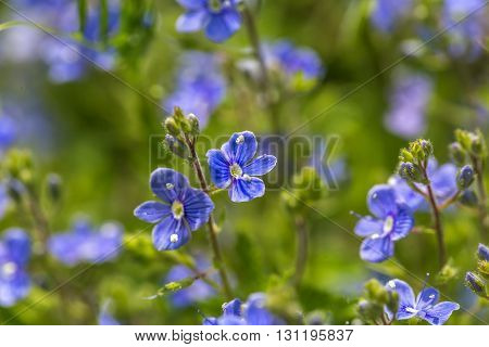 Forget Me Nots Flowers In Close Up