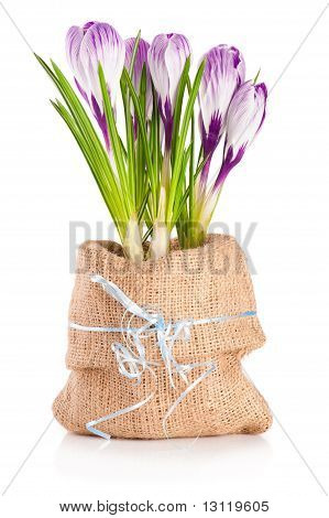 Blooming Crocuses In Canvas Sack