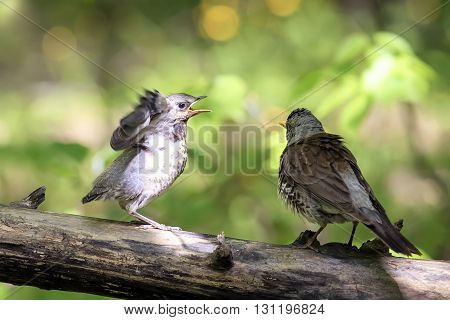 bird the Fieldfare thrush sitting on a log next to his hungry chick