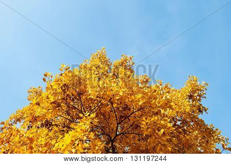 Large yellow maple tree canopy in autumn fall against blue sky