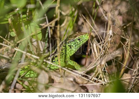 Sand Lizard (Lacerta agilis) male in mating colours hiding in the vegetation