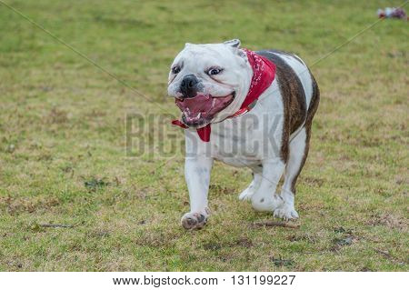 English Bulldog puppy running with mouth wide open.