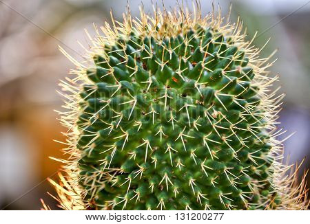 Macro Of A Beautiful Cactus With Backlit