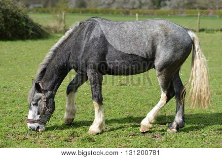 Two tone grey horse in a paddock uk