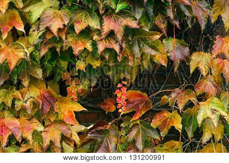 Colorful Boston ivy leaves growing on a wall