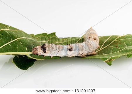 beautiful silkworm on a mulberry leaf with white background