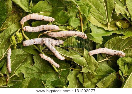 Silkworms eat mulberry leaves fresh and green