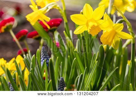 some yellow and red daffodil flowers in spring