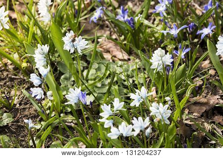 Bee And Blue And White Scilla Flowers In Spring