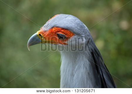 Secretary bird (Sagittarius serpentarius). Wildlife animal.