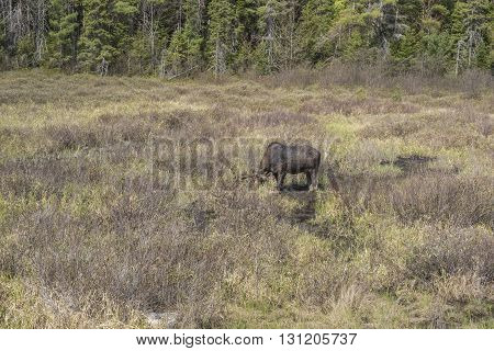 Large Male Moose Fedding