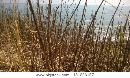 Last year's grass on the beach in the early spring