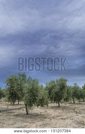 Olive tree in flowering during spring clouds of purple color threaten thunderstorm Andalusia Spain
