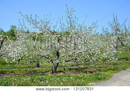 Apple trees in flowers in spring Quebec Canada